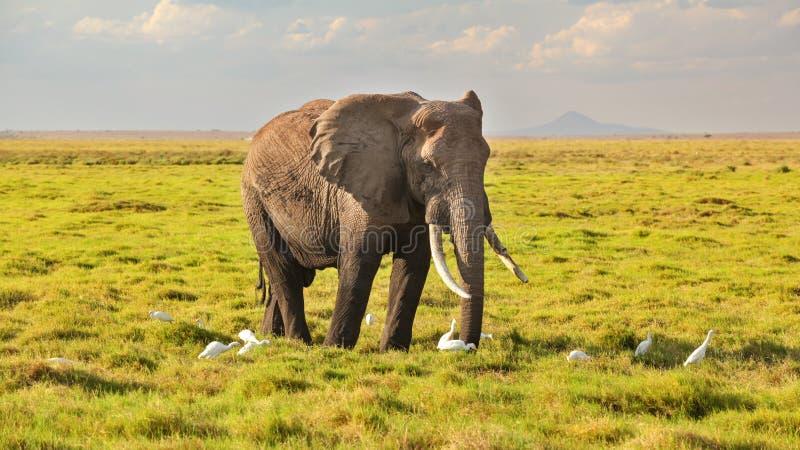 Africana africano que anda no savana, w do Loxodonta do elefante do arbusto fotos de stock