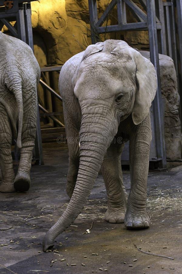 Africana del Loxodonta del elefante africano foto de archivo