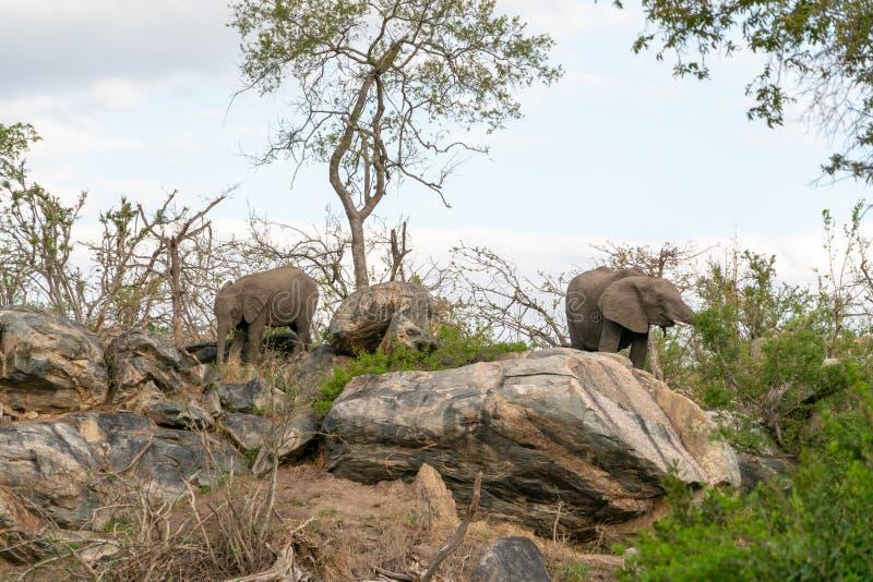 Africana del Loxodonta del elefante africano foto de archivo libre de regalías