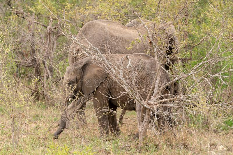 Africana del Loxodonta del elefante africano fotos de archivo