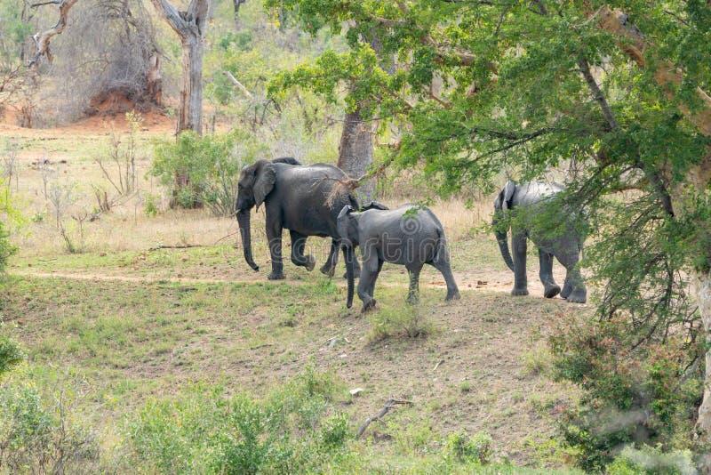 Africana del Loxodonta del elefante africano fotos de archivo libres de regalías