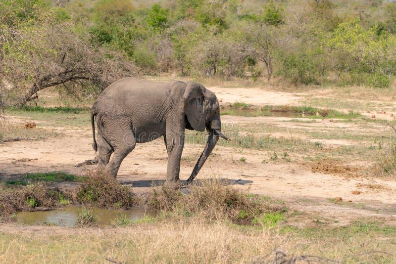 Africana del Loxodonta del elefante africano imágenes de archivo libres de regalías