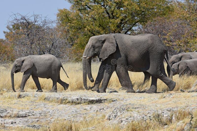 Africana do loxodonta dos elefantes africanos no parque nacional de Etosha fotos de stock royalty free