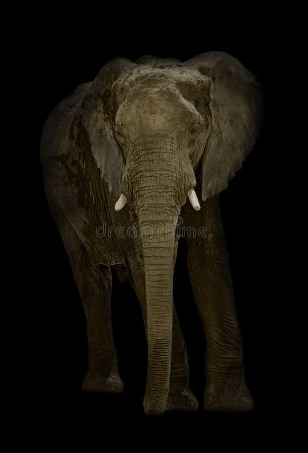 Africana ilustrado del Loxodonta del elefante africano en fondo negro foto de archivo libre de regalías