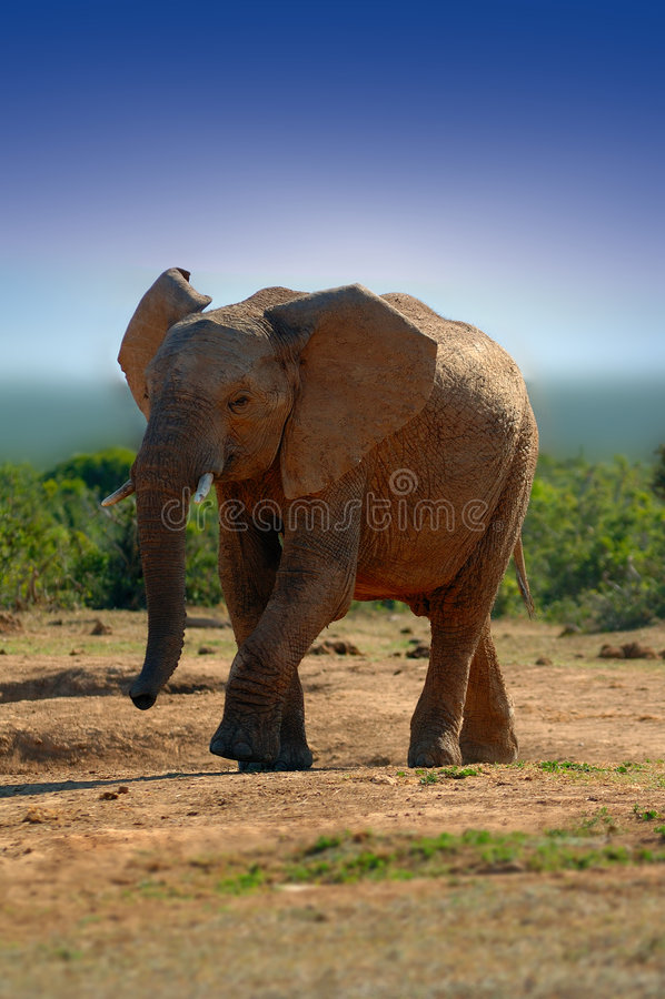 africanaelefantloxodonta royaltyfri bild