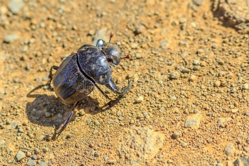 Africano del escarabajo de estiércol fotografía de archivo libre de regalías
