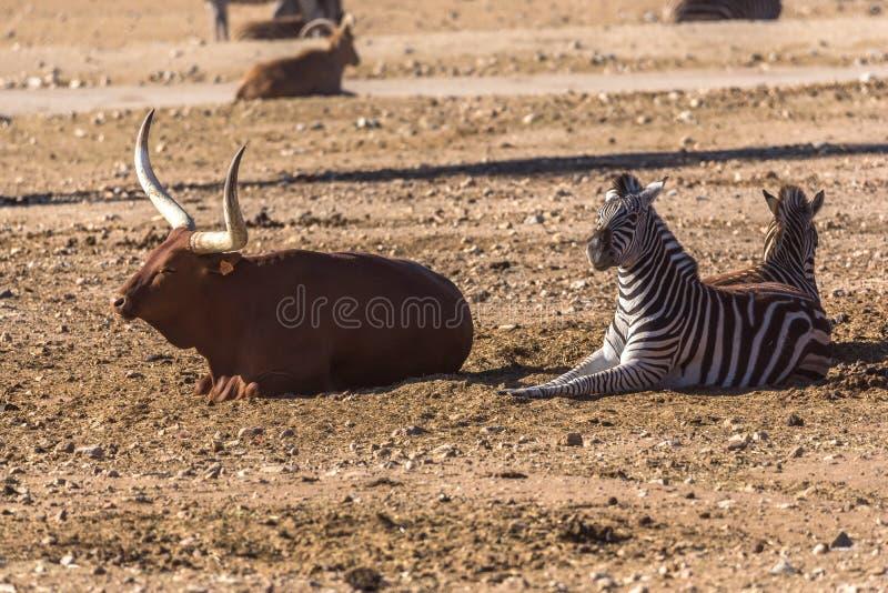 Africano e zebra di Ankole-Watus della mucca che si trovano sulla terra fotografia stock
