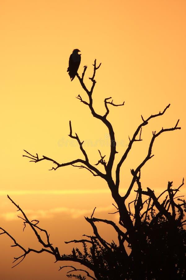 Africano Eagle imagem de stock royalty free