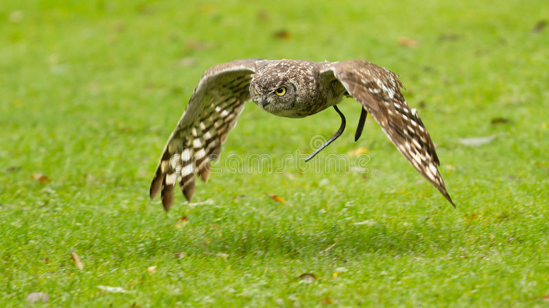 Africano Eagle Owl que vuela sobre un campo verde imagen de archivo libre de regalías