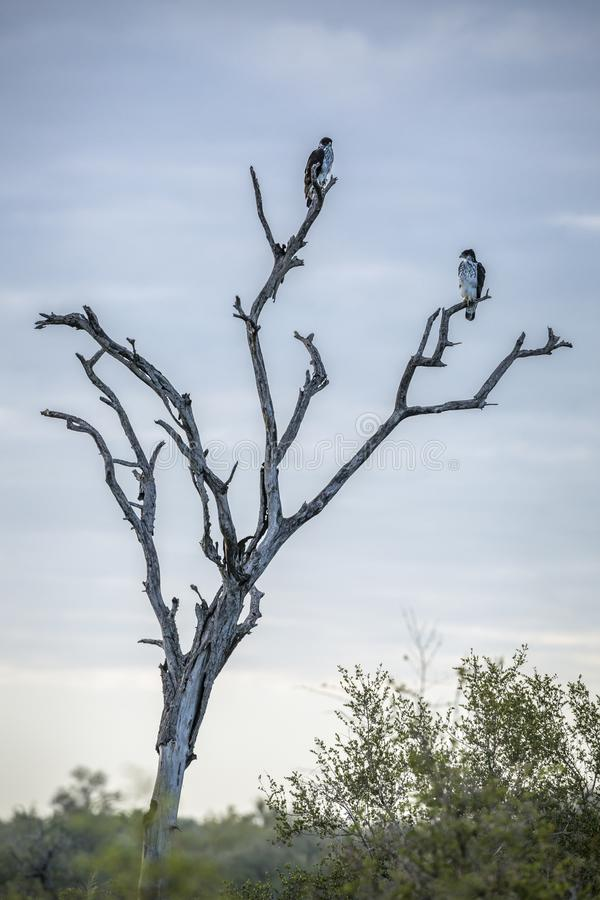 Africano Falcão-Eagle no parque nacional de Kruger, África do Sul foto de stock