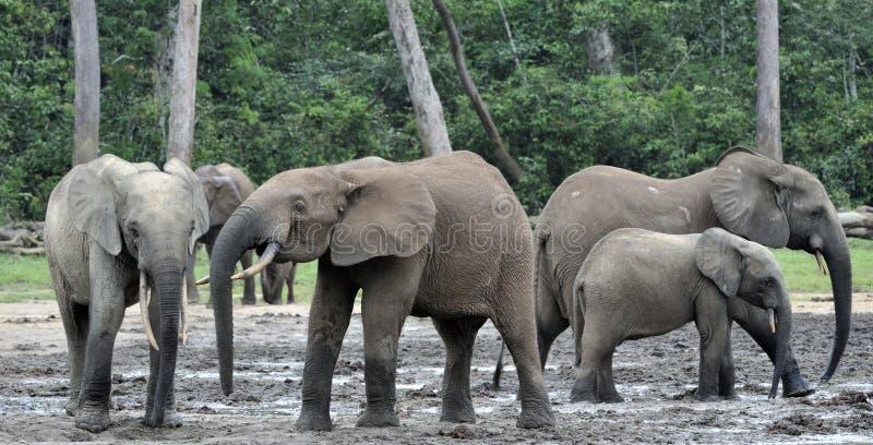 Africano Forest Elephant, cyclotis do africana do Loxodonta, da bacia de Congo No da África Central salino de Dzanga (um esclarec foto de stock