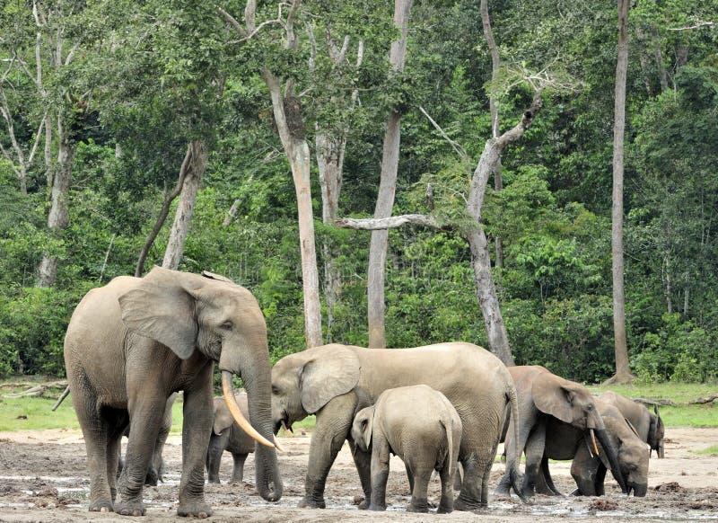 Africano Forest Elephant, cyclotis do africana do Loxodonta, da bacia de Congo No Dzanga (um esclarecimento da floresta) Central  imagem de stock