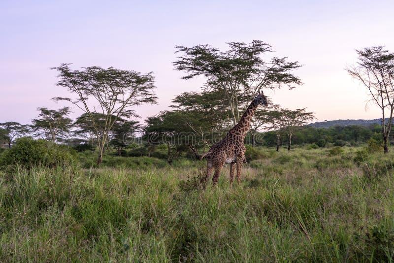 Africano Giraffee foto de stock royalty free