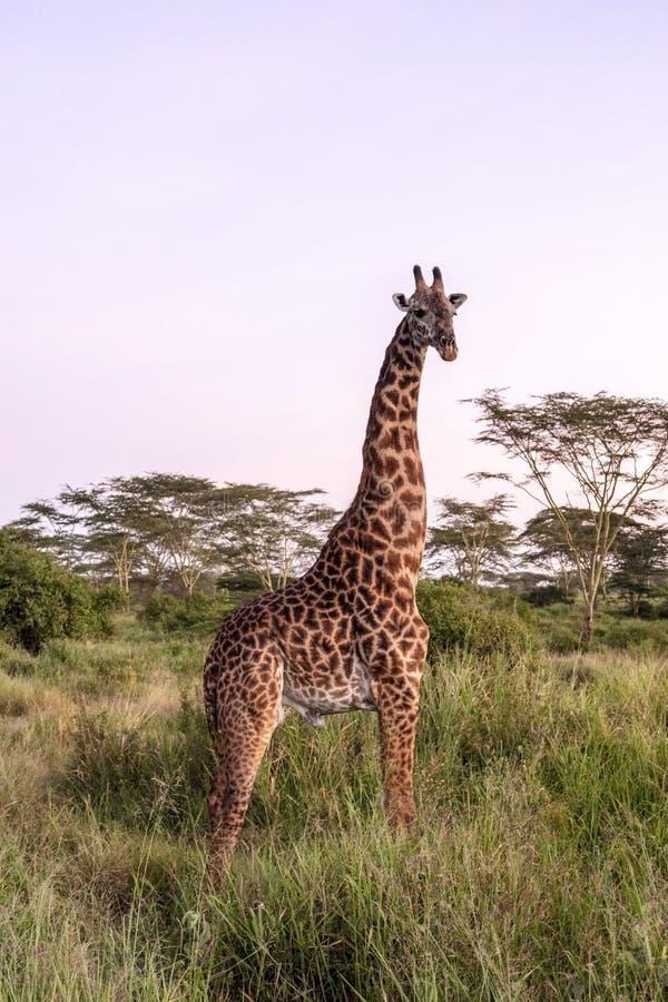 Africano Giraffee imagem de stock