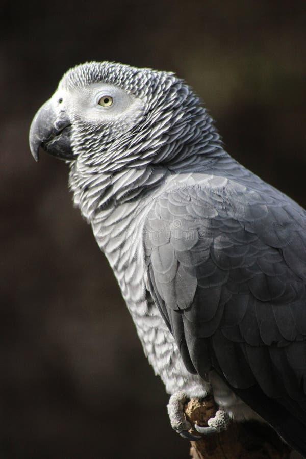 Africano Grey Parrot - primer del perfil foto de archivo libre de regalías