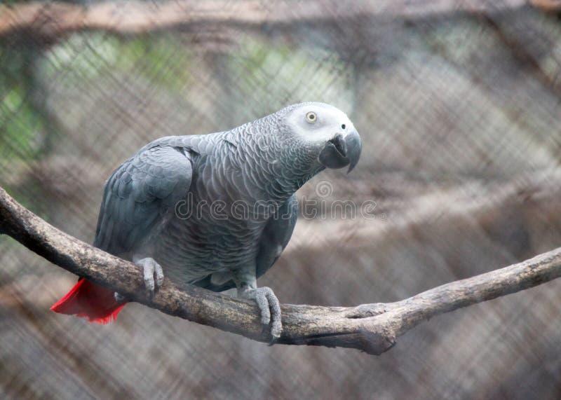 Africano Grey Parrots imagens de stock