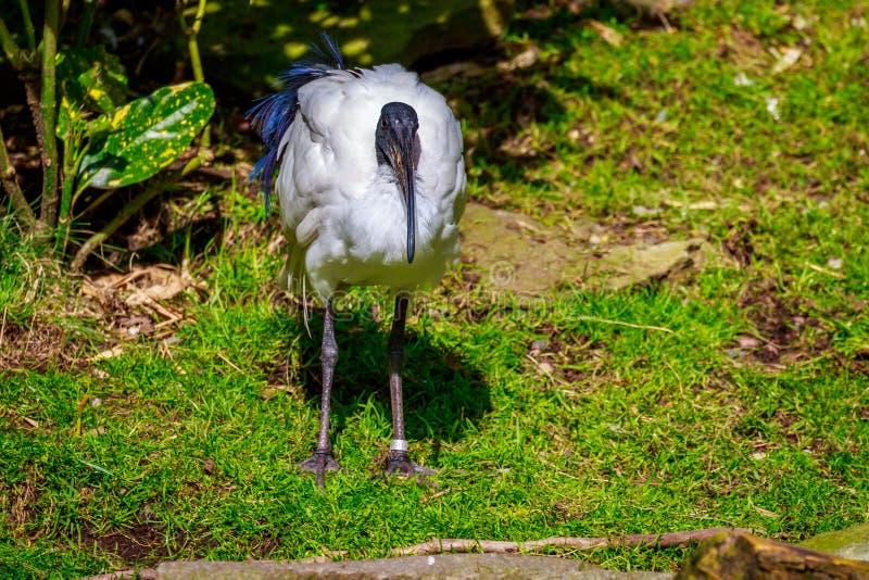 Africano Ibis sagrado fotografia de stock