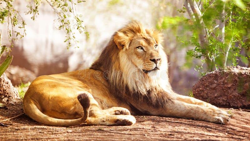 Africano Lion Laying na floresta imagem de stock royalty free