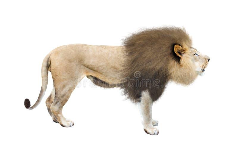 Africano Lion Profile Isolated su bianco immagini stock libere da diritti