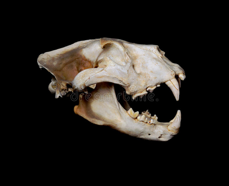 Africano Lion Skull (Pantera leo) foto de stock royalty free