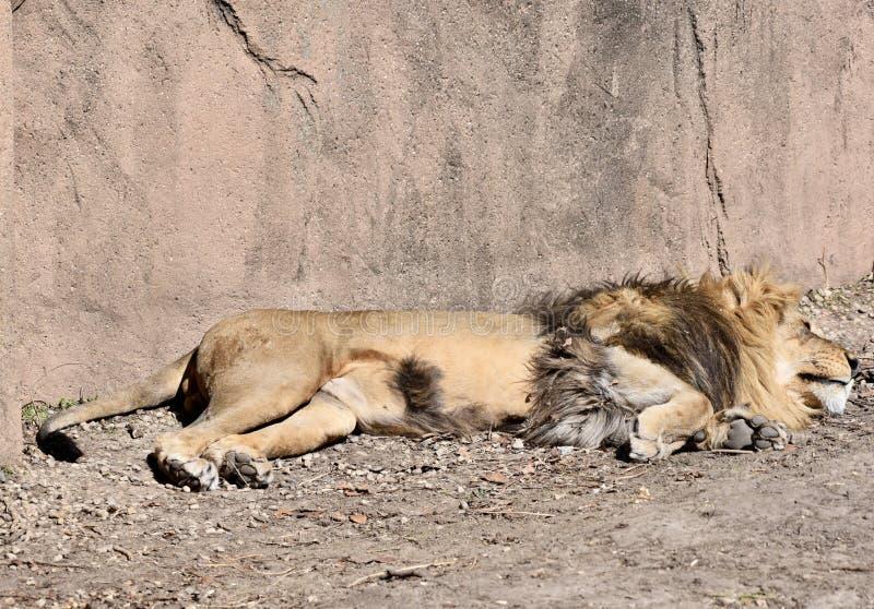 Africano Lion Sleeping Under The Sun imagens de stock