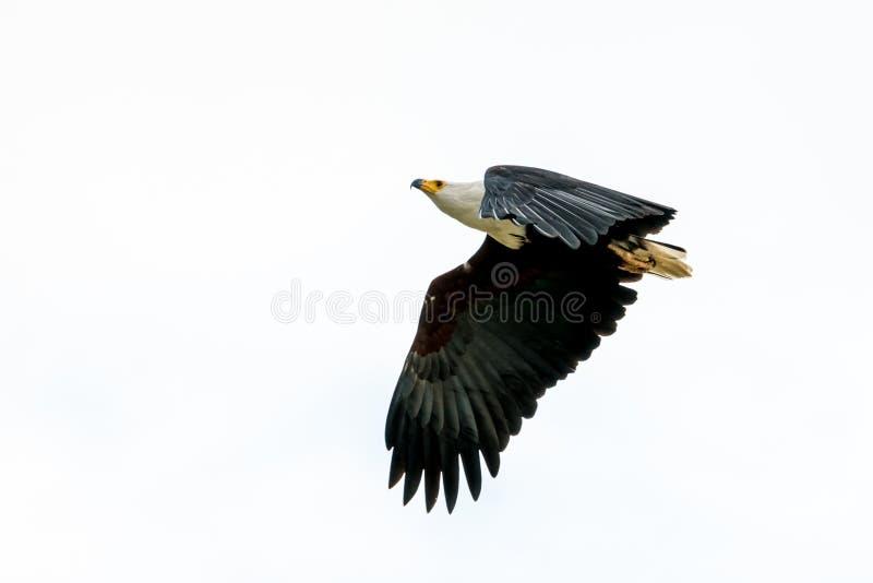 Africano Pesce-Eagle nel metà di volo fotografia stock libera da diritti