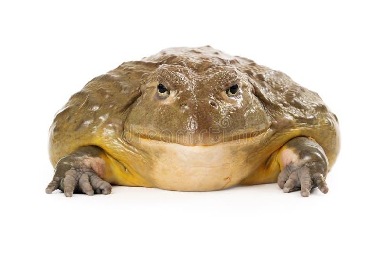 Africano Pixie Frog fotografia de stock royalty free