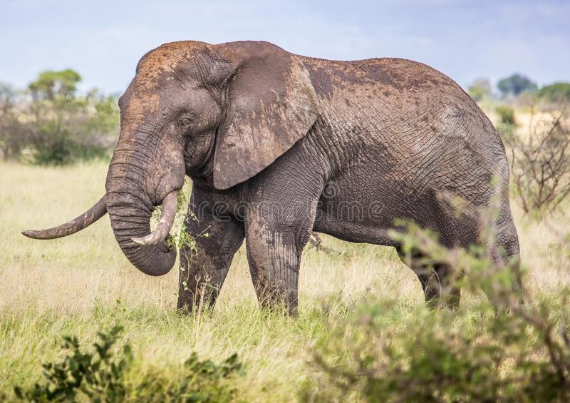 Africano Savannah Elephant no parque nacional de Kruger fotografia de stock royalty free