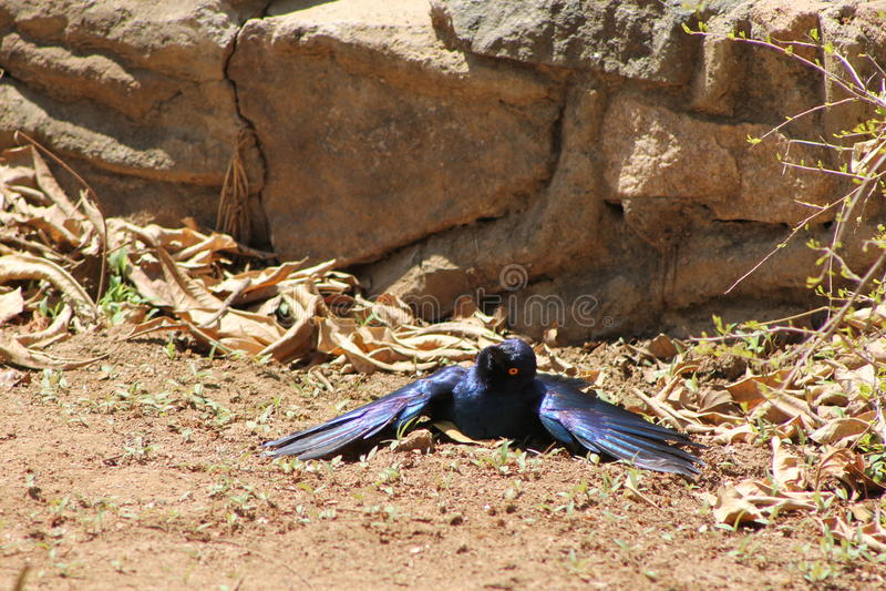 Africano Starling Bird fotografie stock