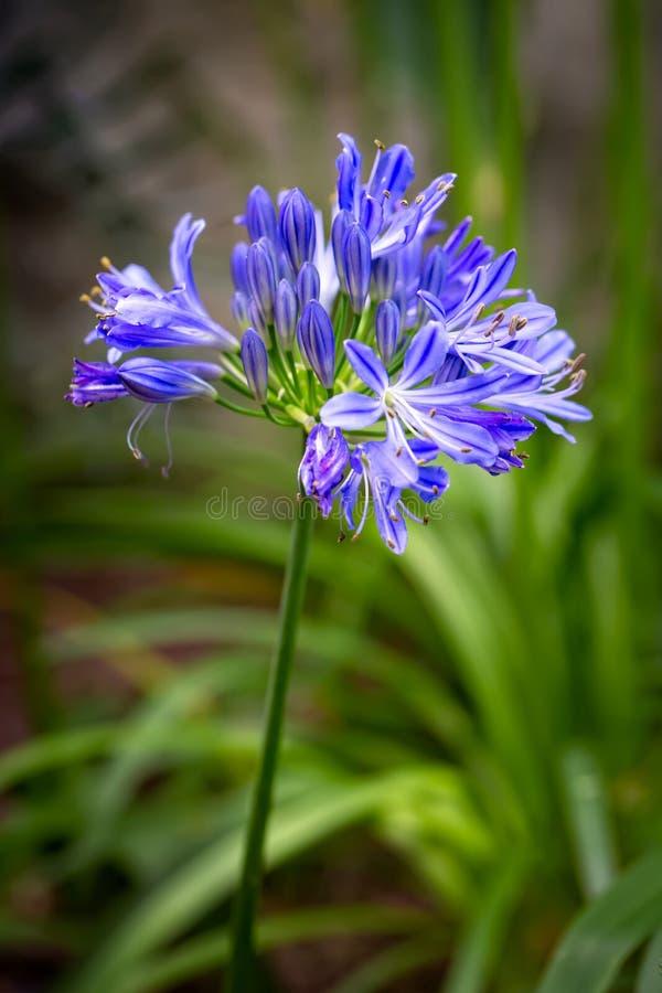 Africanus azul del Agapanthus o flor del lirio africano con un fondo borroso follaje verde del jard?n - Imagen fotografía de archivo libre de regalías