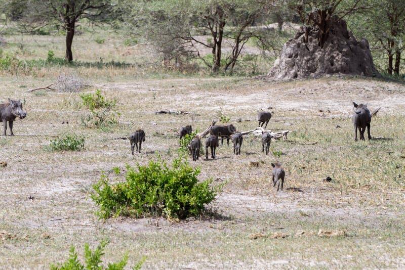 Africanus común del Phacochoerus del facoquero en el parque nacional de Tarangire, Tanzania fotos de archivo libres de regalías