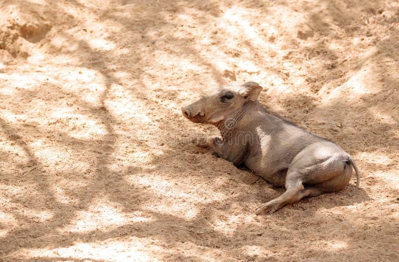 Africanus comum do Phacochoerus do javali africano fotografia de stock