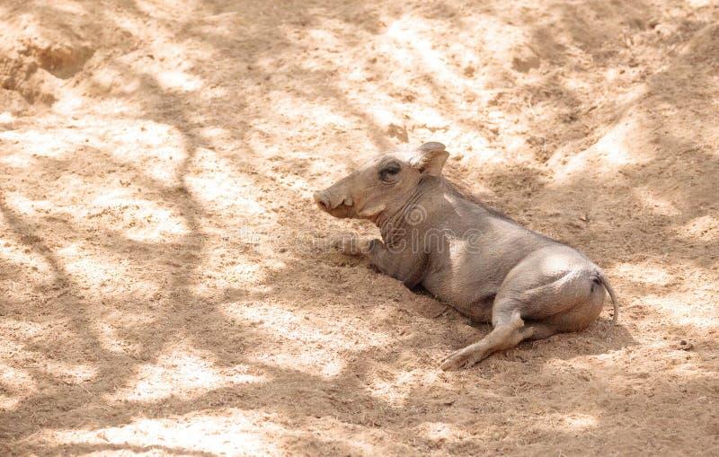 Africanus comum do Phacochoerus do javali africano foto de stock royalty free