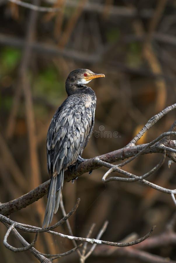 Africanus de Reed Cormorant - de Microcarbo imagen de archivo libre de regalías