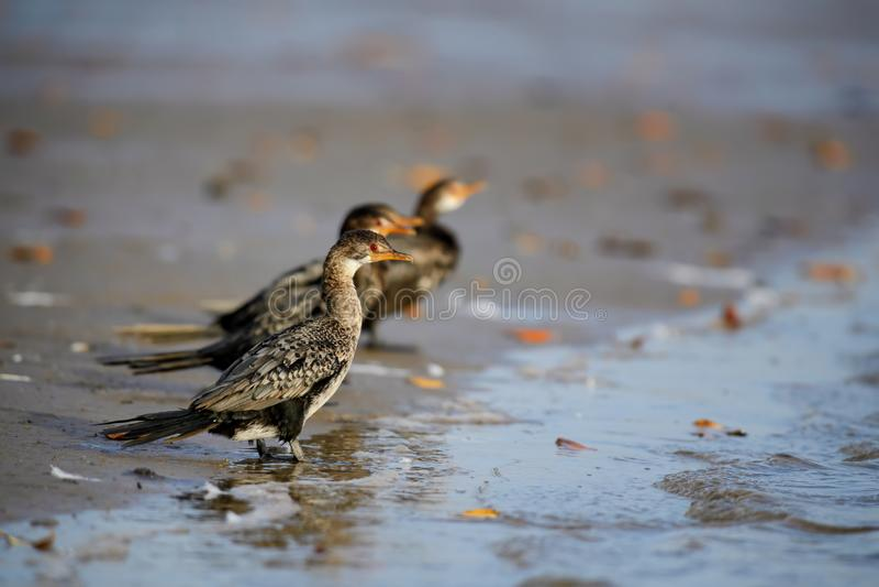 Africanus de Reed Cormorant - de Microcarbo foto de archivo