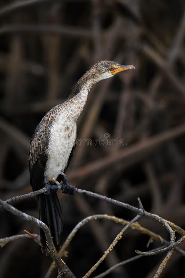 Africanus de Reed Cormorant - de Microcarbo fotografía de archivo libre de regalías
