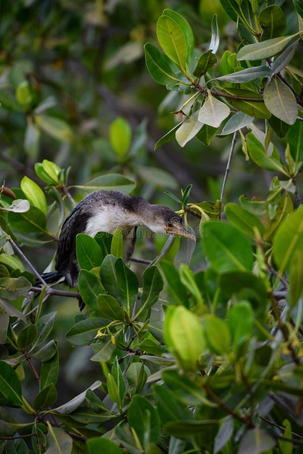Africanus de Reed Cormorant - de Microcarbo imagen de archivo