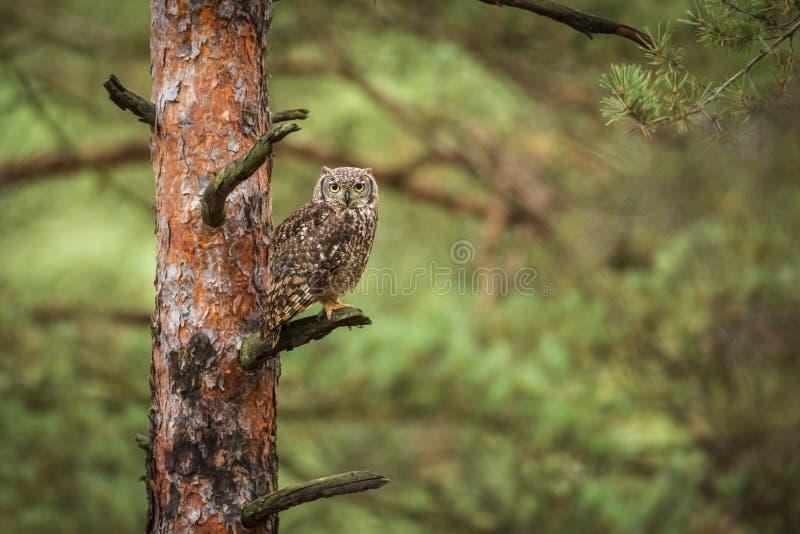 Africanus do bubão na floresta fotografia de stock