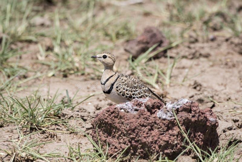 africanus Dobro-unido de Courser Rhinoptilus no Serengeti foto de stock royalty free