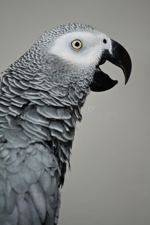 Africn grey royalty free stock photography