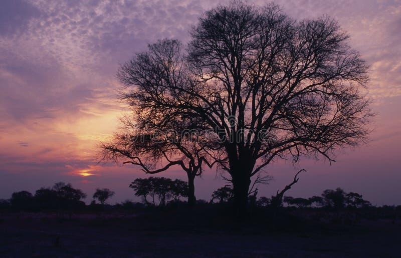 Afrika-acacia boomsilhouet royalty-vrije stock foto