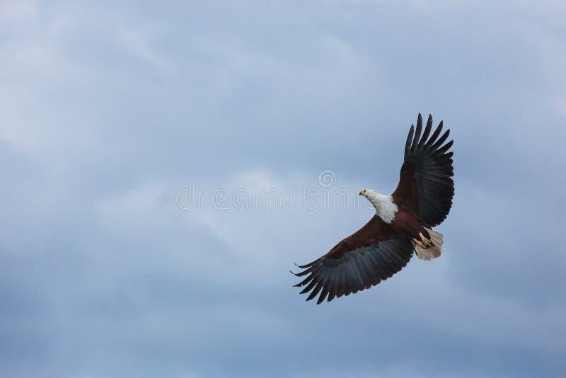 Afrika, adelaar, vogel, roofdier, hemel, het vliegen, lucht, wolken, middag royalty-vrije stock foto's
