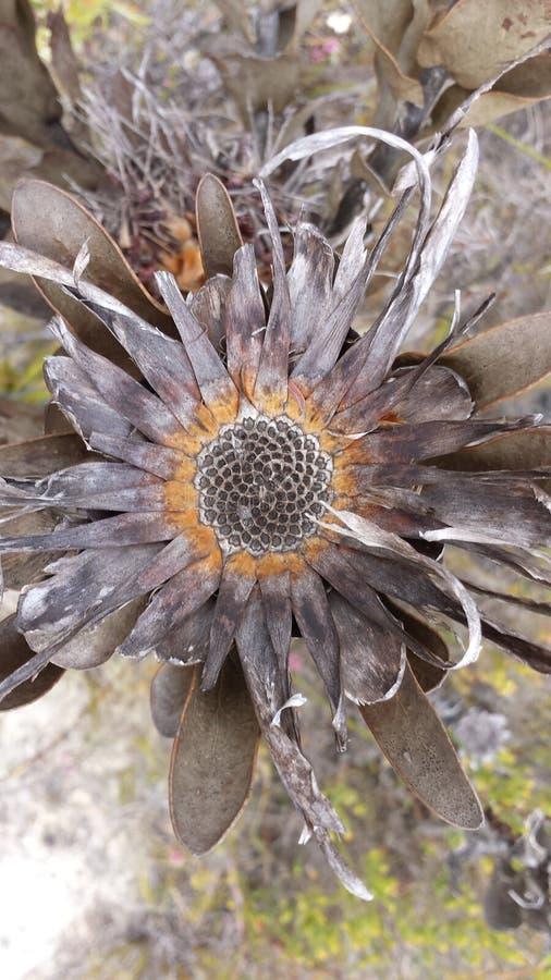 Afrika brännskadafibonacci spiral arkivfoton