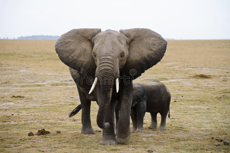 Afrika-Elefantfamilie lizenzfreie stockbilder