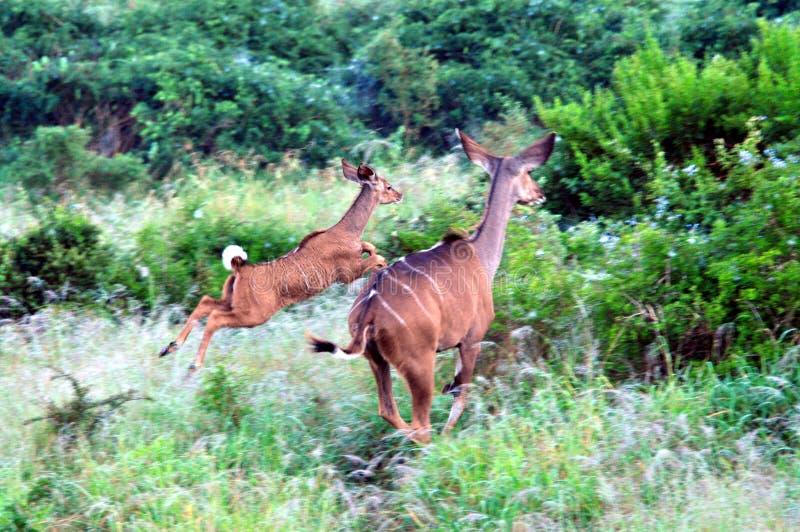 Afrika två ung Kudu antilopbanhoppning till och med Bush royaltyfria bilder