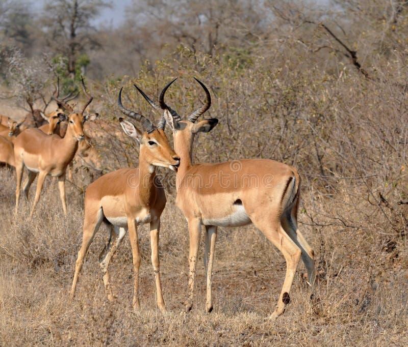 Afrika-wild lebende Tiere: Impala stockbild