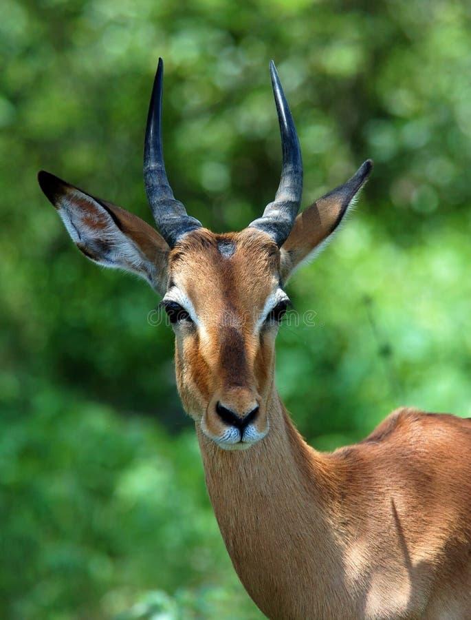 Afrika-wild lebende Tiere: Impala stockfotos