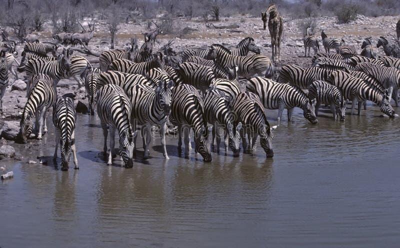 Afrika-Zebras lizenzfreie stockfotografie