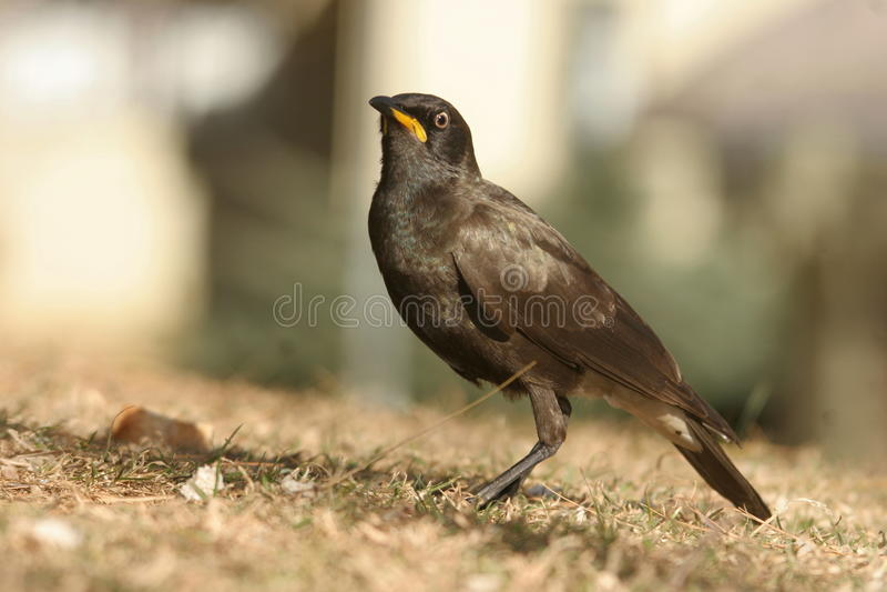 (Afrikaan) Bonte Starling royalty-vrije stock fotografie