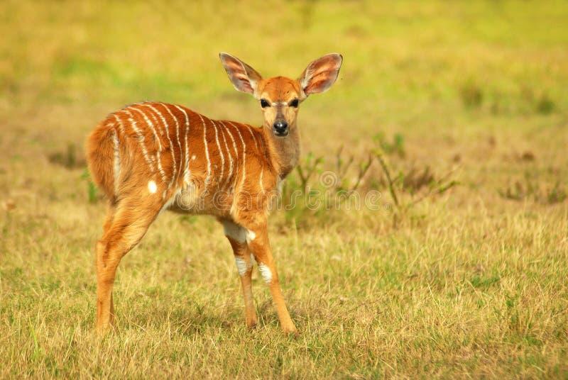 Afrikaans antilopejong geitje (Nyala) royalty-vrije stock afbeeldingen